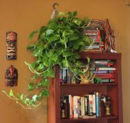 Golden Pothos- Requires little light and watering only once every 10 days.