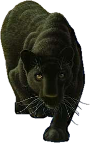 Black panther intuition